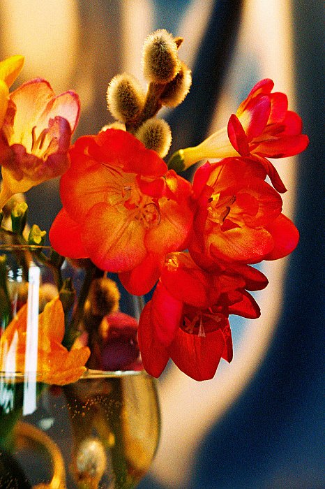 Freesia red ~ andrewdyachkin