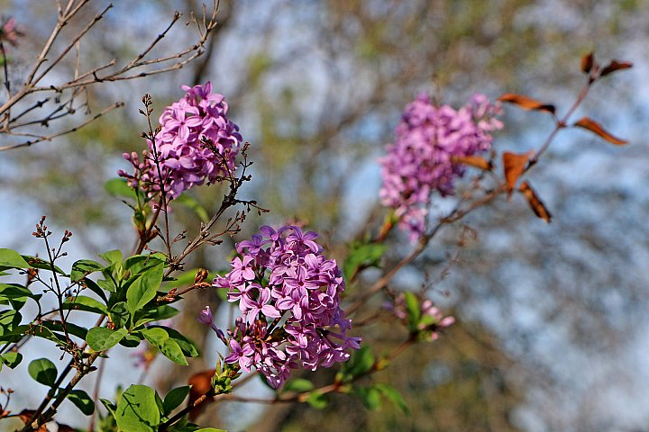 Lilac in October