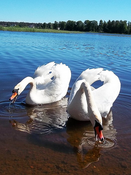 Лебединая жажда Thirst swans ~ Jevgenija Baltina
