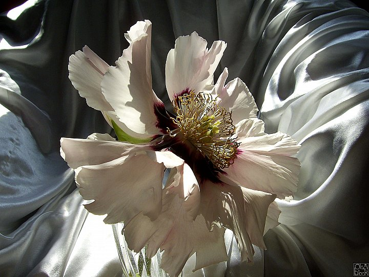 White Peony on White Silk ~ Ольга Кузнецова-Блок
