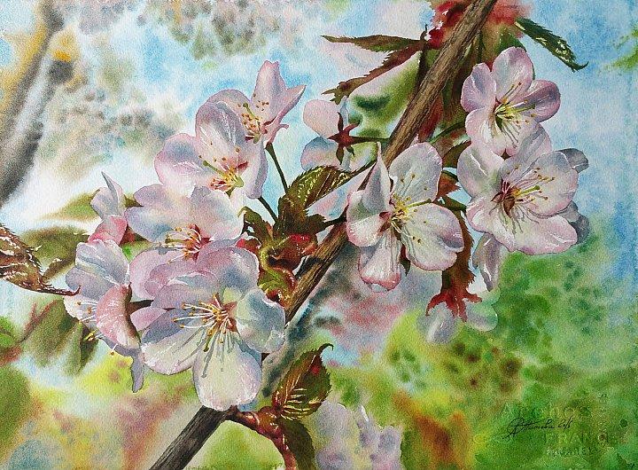 Любовь Титова – акварель Цветение вишни